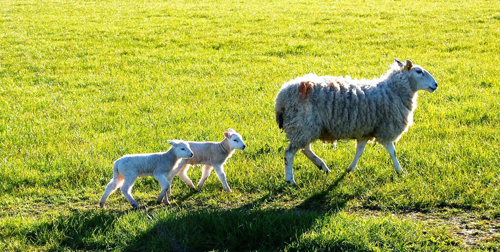 Lambs on the Isle of Bute
