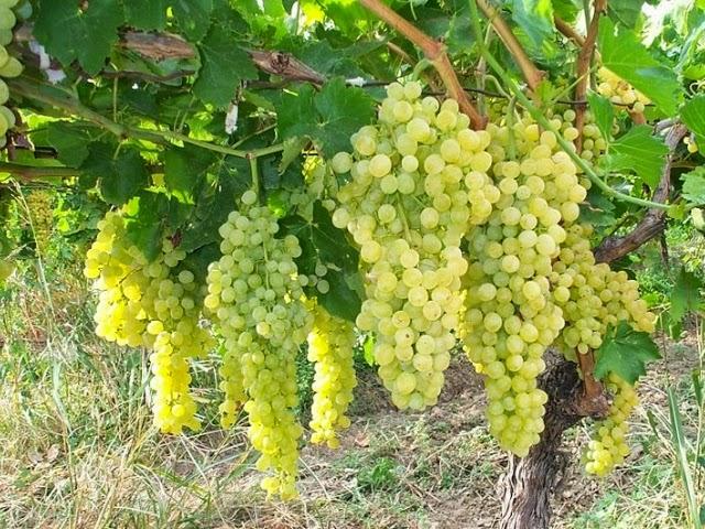 папилломы и виноград