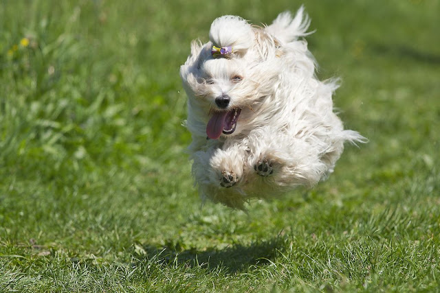 Flying dog (Havanese) above the grass