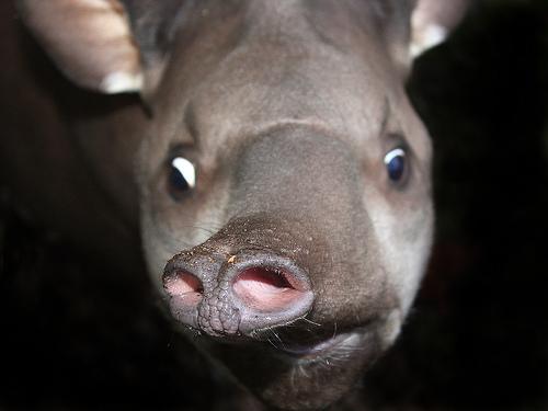 Funny Pics: Funny Tapir Pics