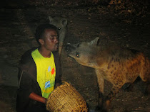 Hyenas being fed stringy meat extended by mouth from a stick, Harar (Ethiopia)
