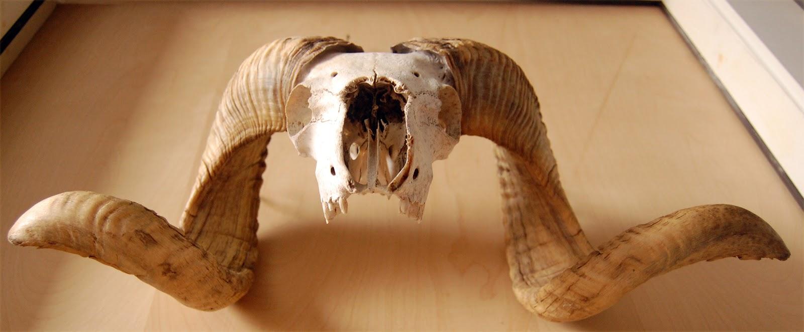 Mountain goat skull - photo#25