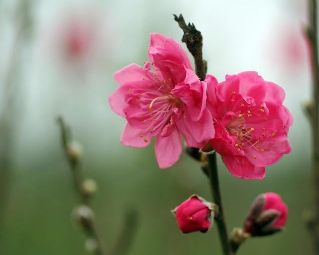 Một cành hoa đào tạo nên sắc trời