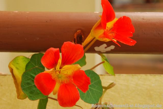 Kapuzinerkresse rankend Blüten