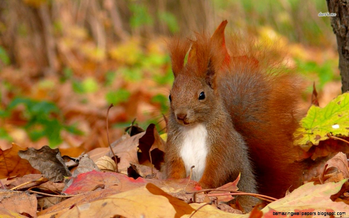 fall wallpaper with squirrel amazing wallpapers