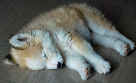 Cute Dogs|Pets: Golden Retriever and Husky Mix Puppies