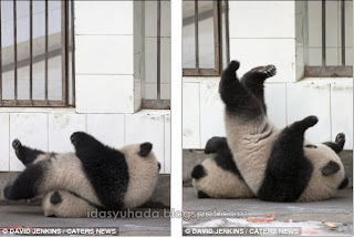 Jom Tengok Panda Yang Comel Dan Nakal