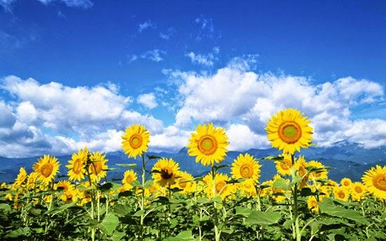 Hoa hướng dương đẹp nhất