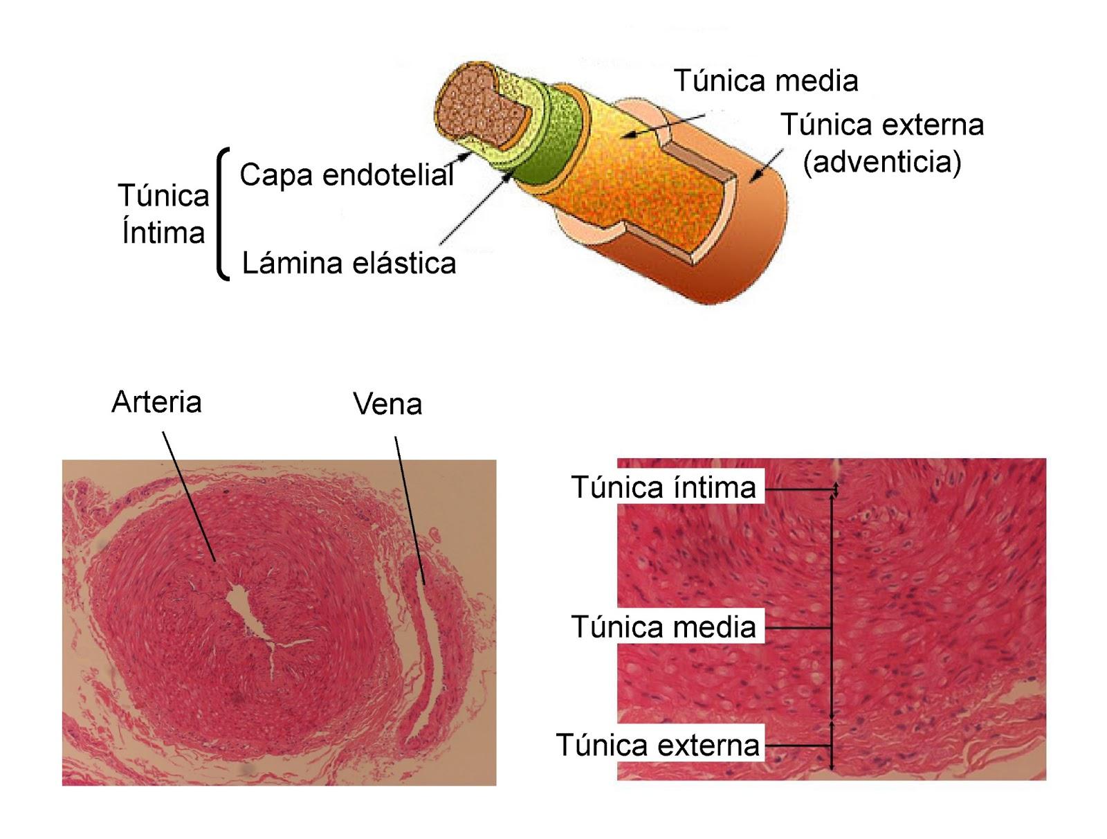 Una arteria está formada por la túnica íntima, la media y la externa
