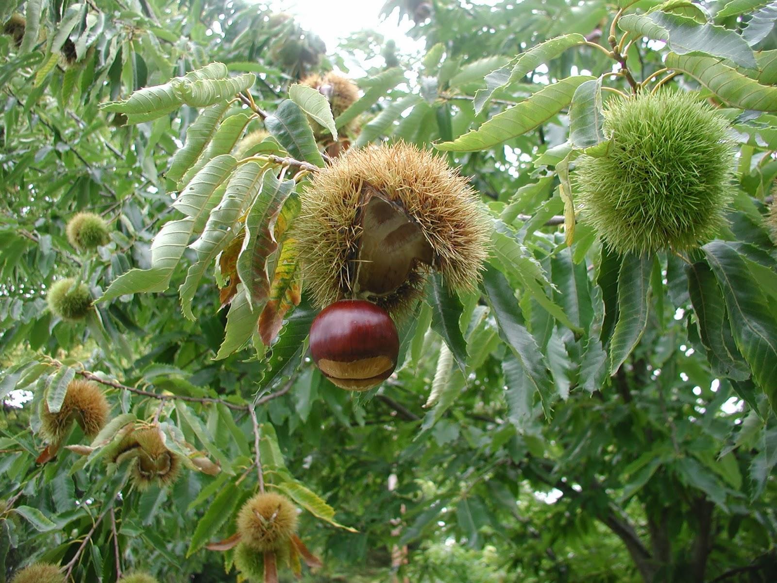 In lee 39 s garden now october 2013 for The chestnut