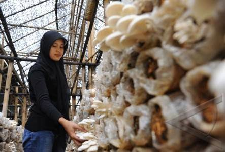 Revolusi Ilmiah - Tahap panen jamur