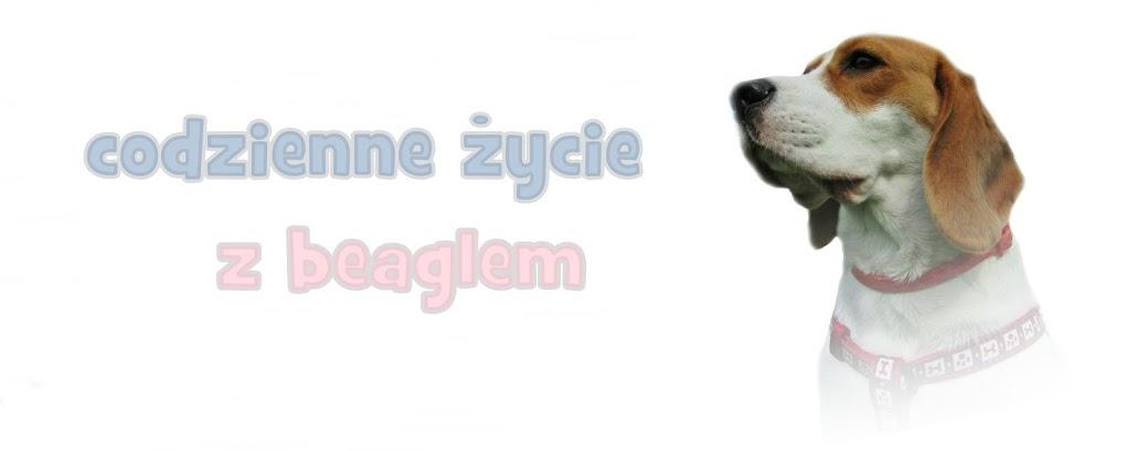 Codzienne życie z beaglem