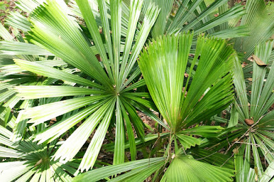 Fan Palm (Licuala sp)