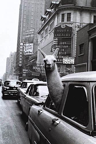 llama taxi