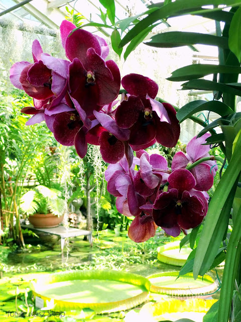 bordowe kwiaty storczyka