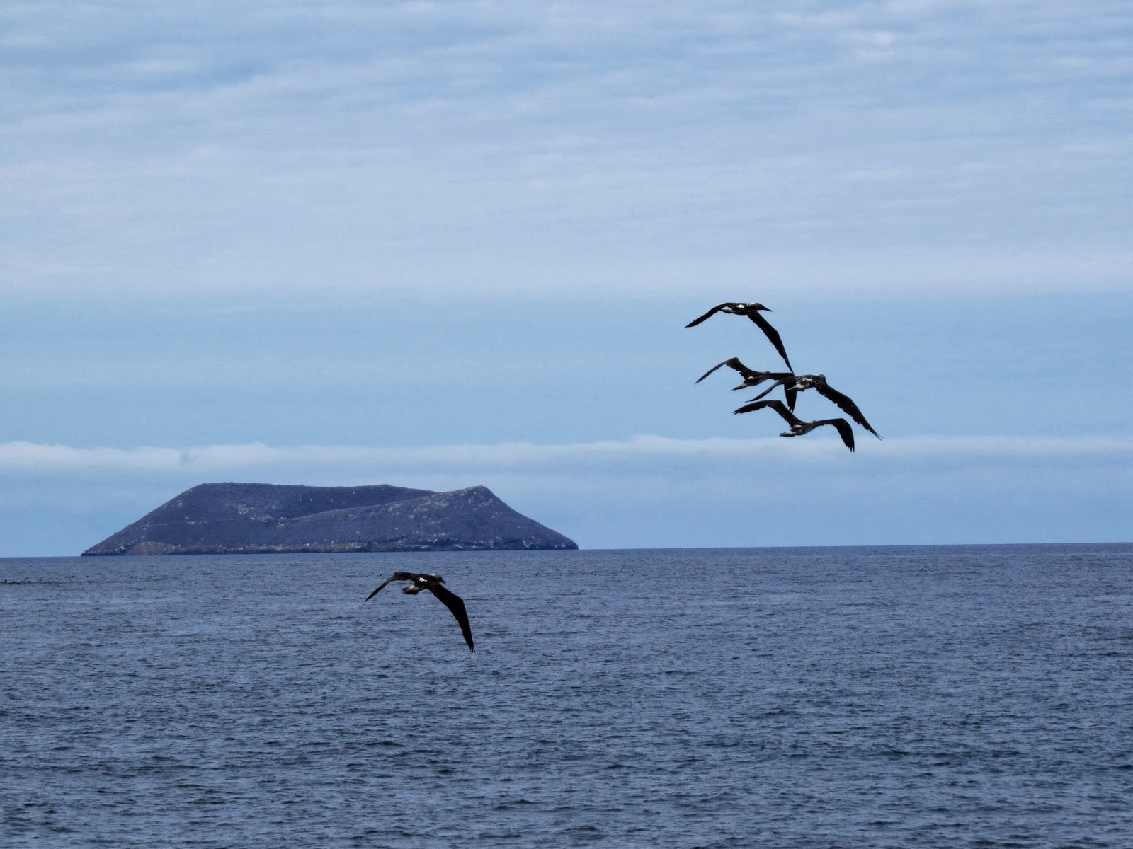 Galapagos Islands Great and Magnificent Frigate Birds