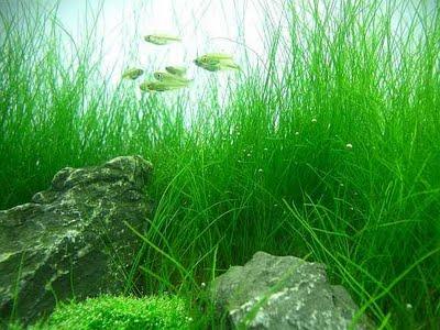 akuarium, aquarium, aquarium style, contoh akuarium, aquascape, aquascape syle