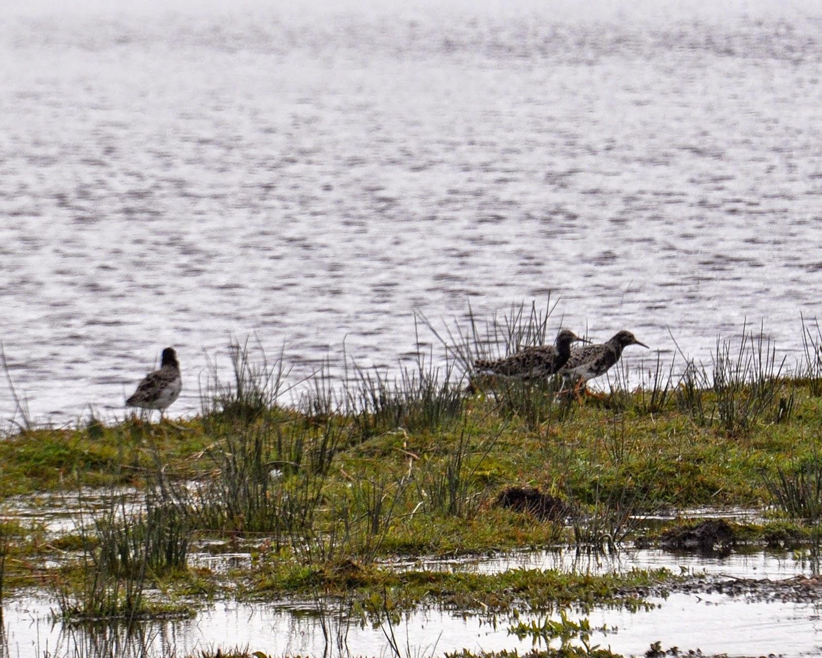 Ruffs at Loch Leven