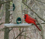 Cardinal at Hawk Mountain