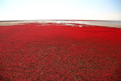 الشاطئ الأحمر الذي يقع علي نهر panjin-red-beach-62.