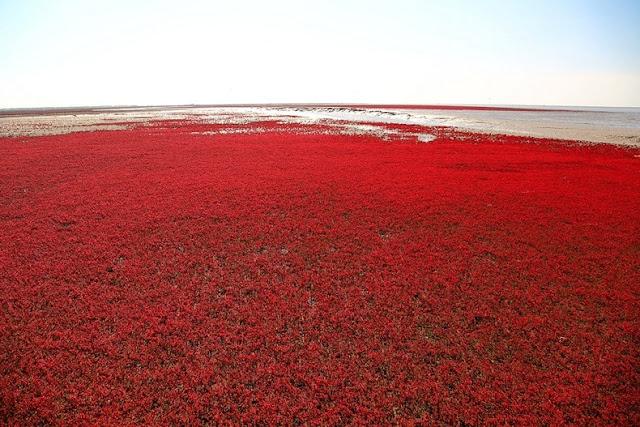 panjin red beach 62 من أجمل شواطئ العالم '' الشاطئ الأحمر '' في مدينة بانجين بالصين