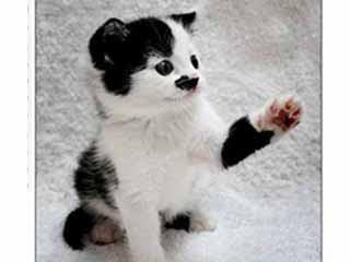 英國 貓國希特勒 琦特勒