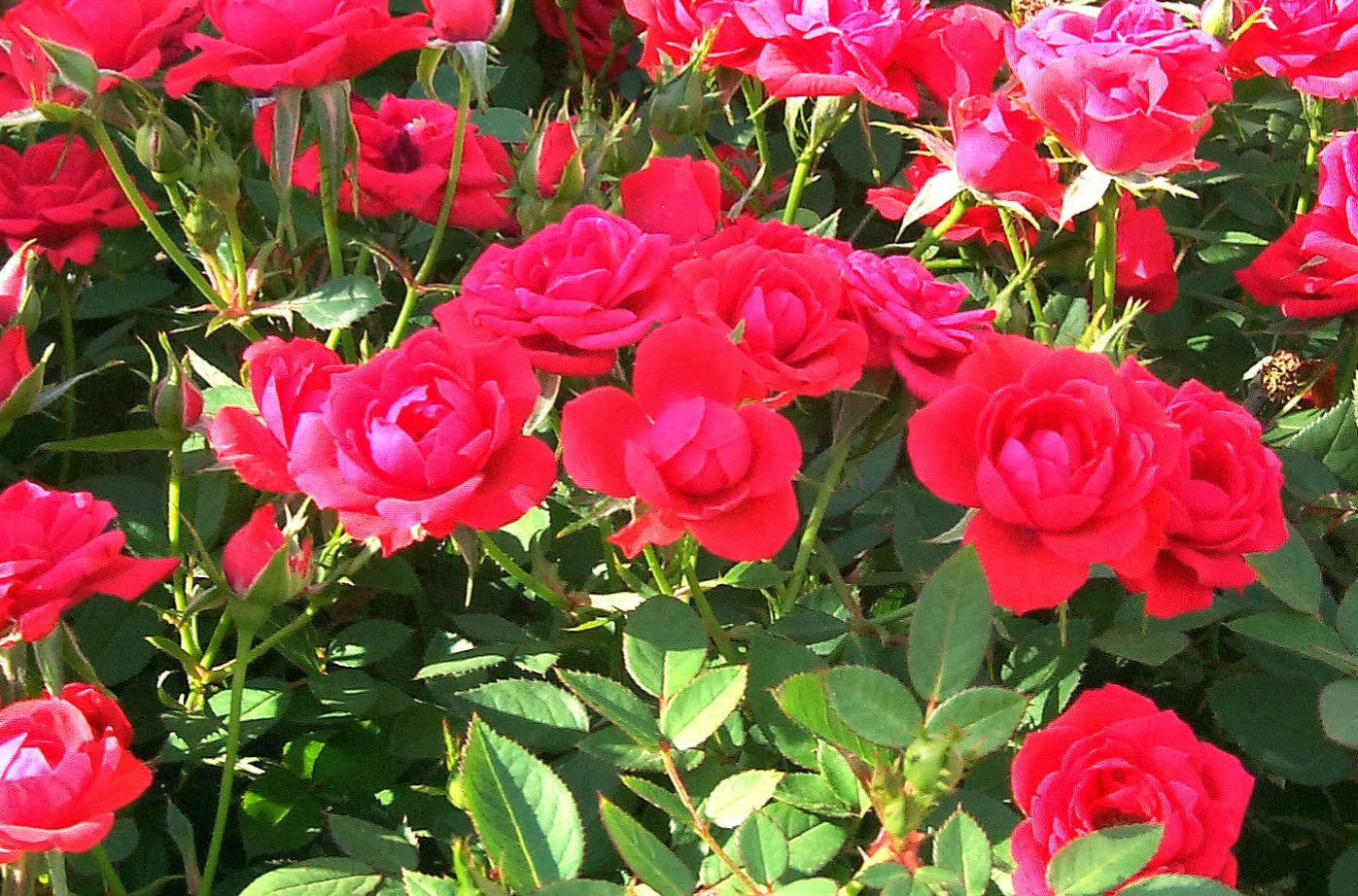 English rose garden wallpaper - Rose Garden Wallpapers