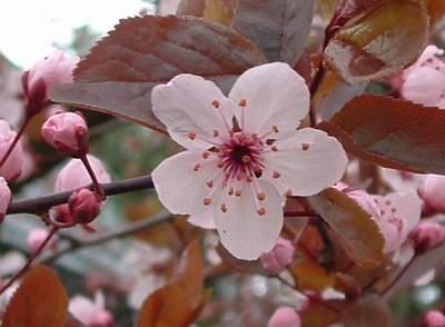 CHERRY PLUM - Prunus cerasífera