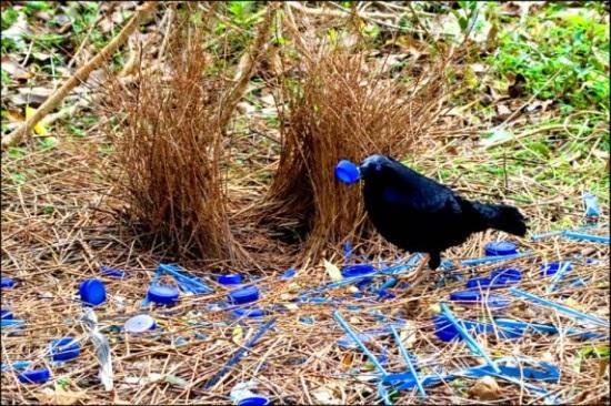 Bbb un oiseau australien tonnant for L oiseau jardinier