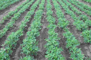 budidaya-kacang-tanah