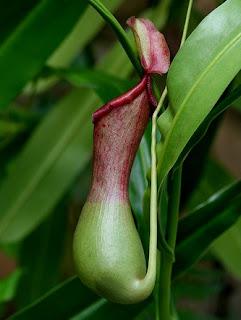 Khasiat Manfaat Tanaman Tumbuhan Kantong Semar