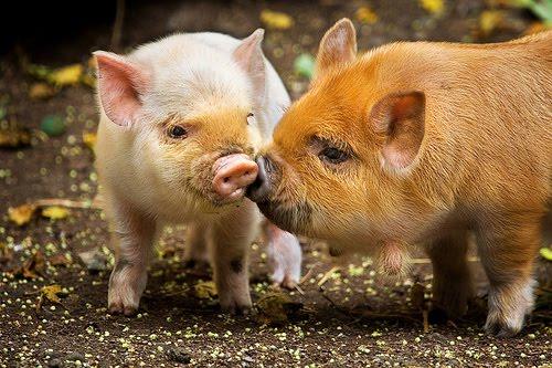 Cerdo Hamsphire
