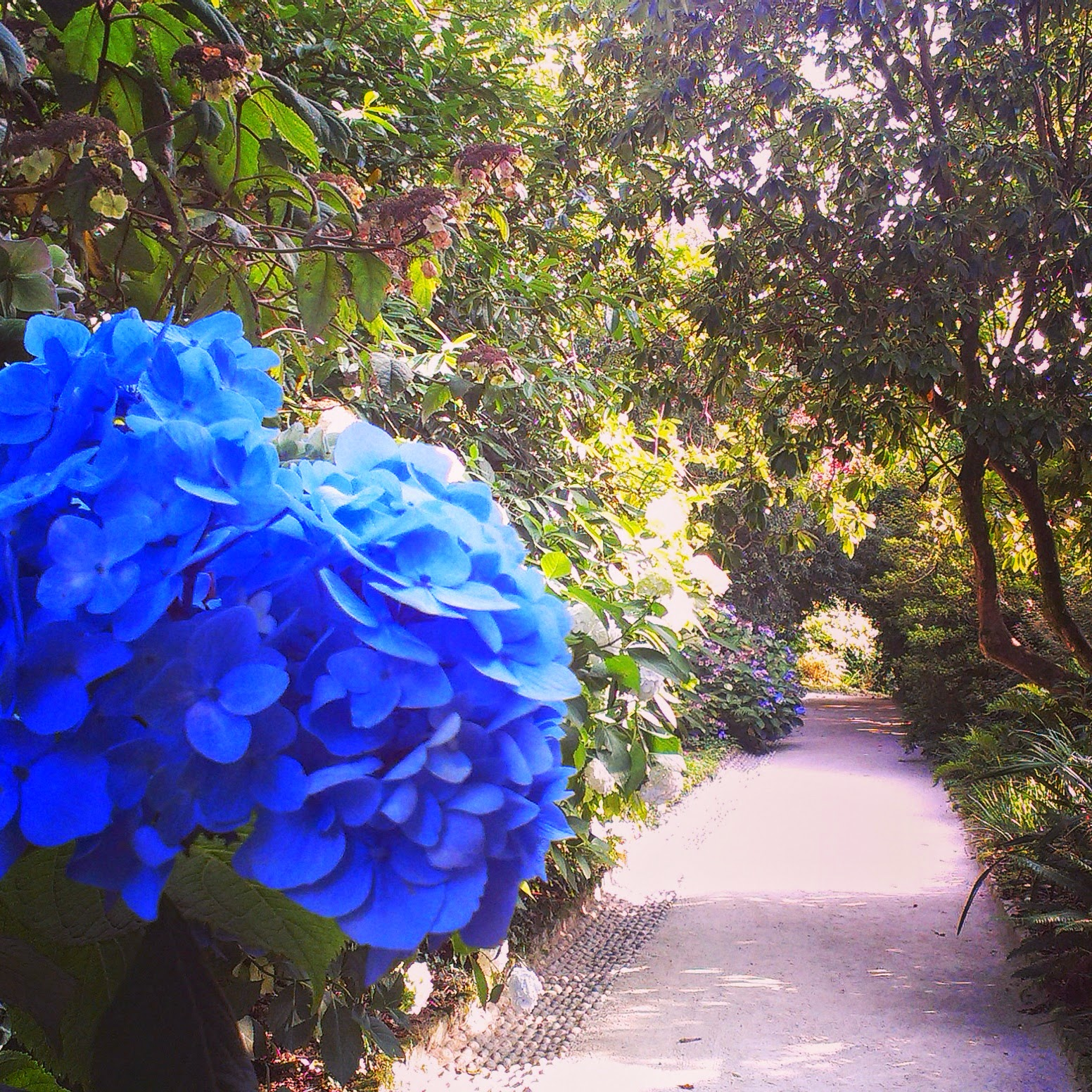Blue Hydrangeas at The Lost Gardens of Heligan