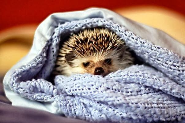ёжик под одеялом