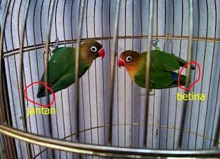 Karakteristik dan Perbedaan Lovebird Jantan dan Betina,