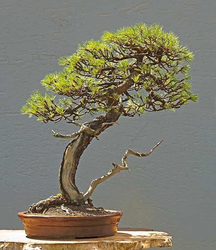 walter pall bonsai adventures mugo pine 1. Black Bedroom Furniture Sets. Home Design Ideas