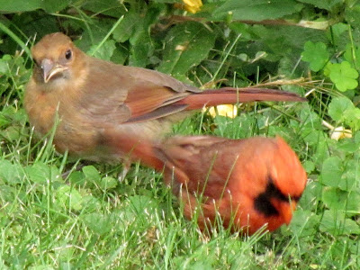 male cardinal forages while fledgling watches