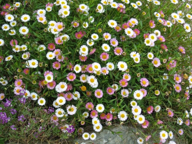 Jardines muy privados el jard n de margarita - Arbusto pequeno con flores ...