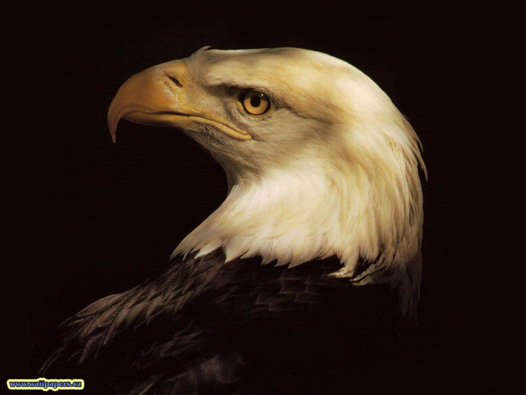 Must see   Wallpaper Horse Eagle - Eagle+Hawk+wallpapers+4  Photograph_18522.jpg