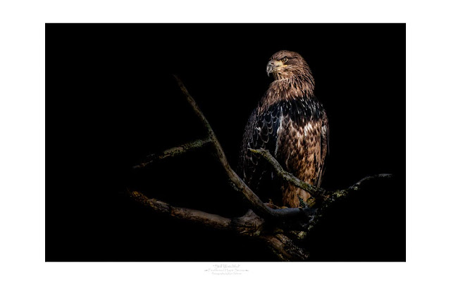 """Still Watchful"" - A limited edition fine art print of a juvenile bald eagle.  All proceeds from the sale are donated to Raptor Education Group, In."