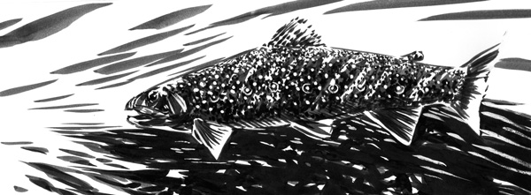 Brown Trout, Brush and Ink