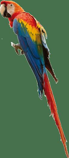 Araracanga | Scarlet Macaw