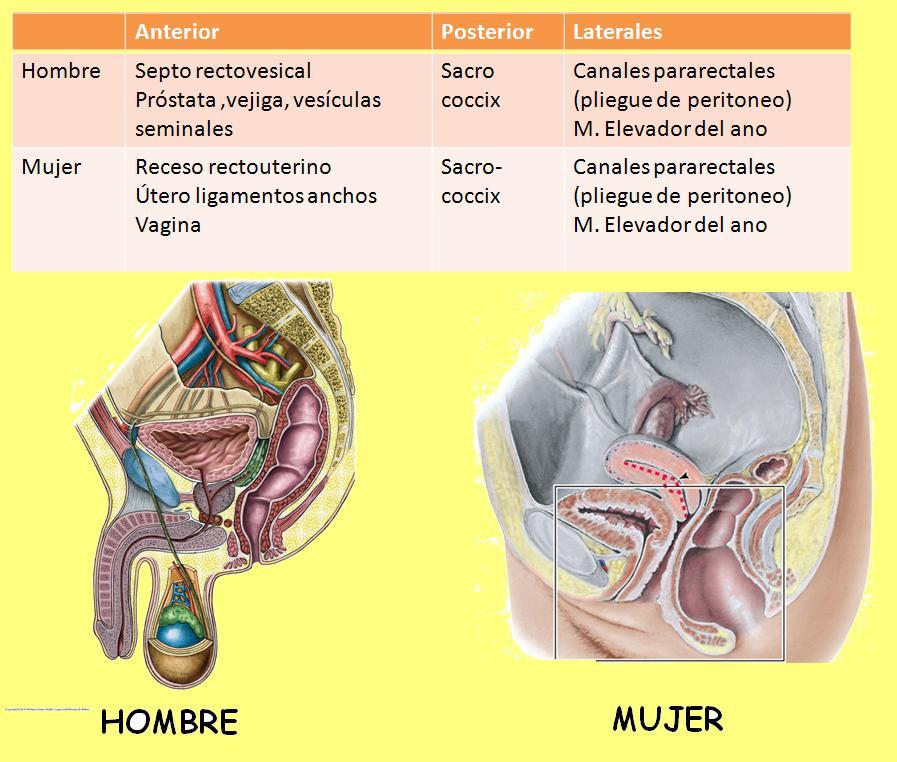 Anatomía UNAM: RELACIONES ANATÓMICAS DEL RECTO