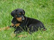 . fiel con sus amos y protector de su espacio y territorio y pertenencias. perros cachorro raza doberman