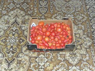 Урожай помидоров 3
