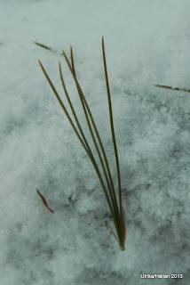 Weymouthtall Pinus strobus