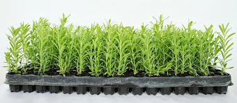 Βιολογικά Φυτά Λεβάντας για επαγγελματική χρήση.