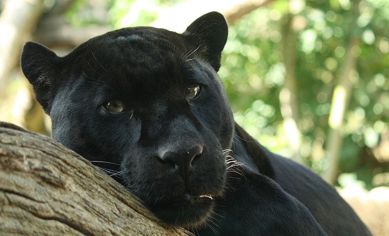 A Black Panther (i.e. A Melanistic Jaguar). Photo By Bruce McAdam.