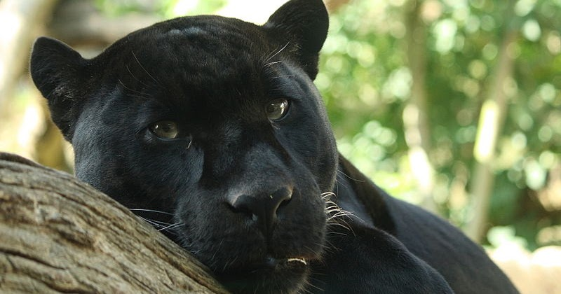 Living Alongside Wildlife So You Say You Saw A Black Panther