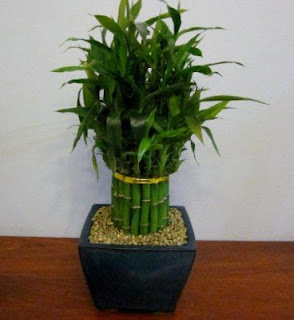 Lucky bamboo from bamboo nursery melbourne